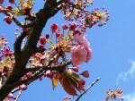 Japanische Kirschblüte Berlin Bornholmer