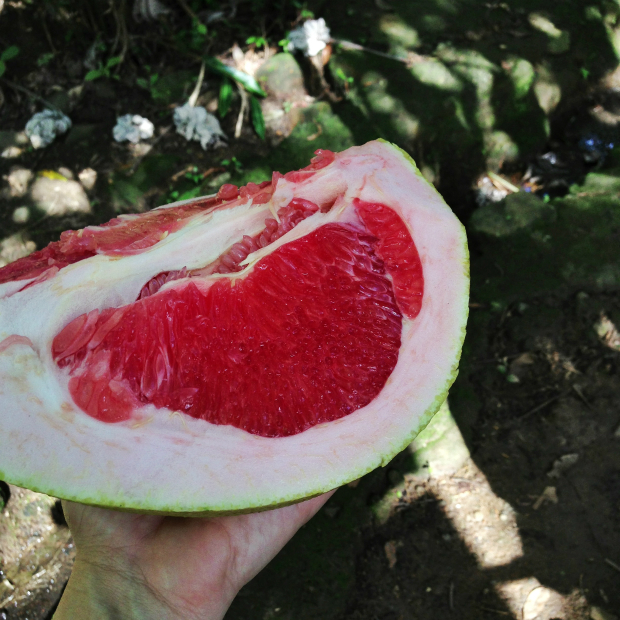 grapefruit-huge-big-dominican-republic