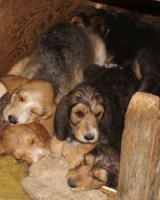 Slideshow of C Litter Otterhound Puppies