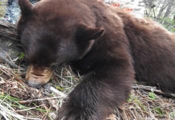 montana bear hunts