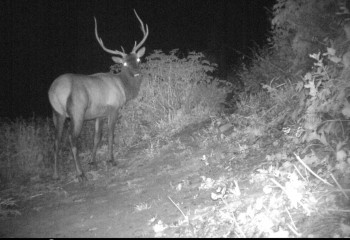 Montana Elk trail cam photo