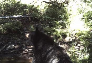 Montana Bear Hunting