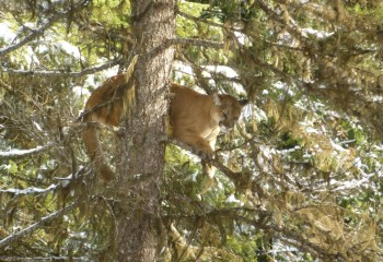 Cougar hunting Montana Outfitter (6)