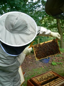 A frame of brood in a Hive In Buxted East Sussex in the High Weald