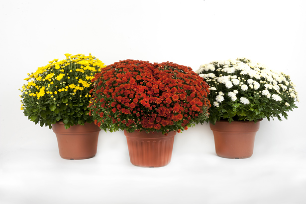 2 Gallon Mum Wholesale Bedding Plants Hybels Inc
