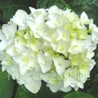 My Blushing Bride White Hydrangea Transplant- One Year Later
