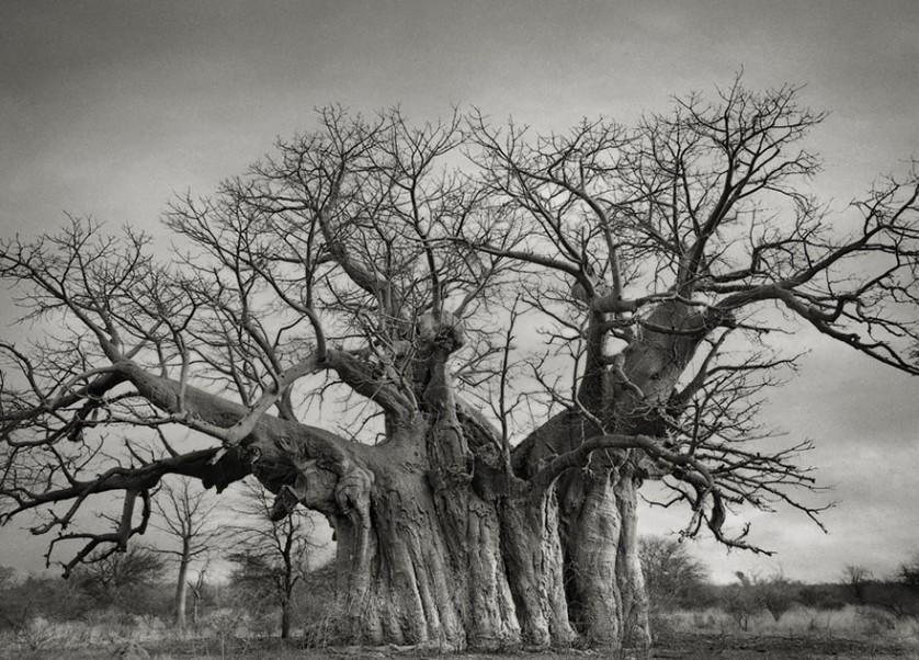 vecchi alberi 6