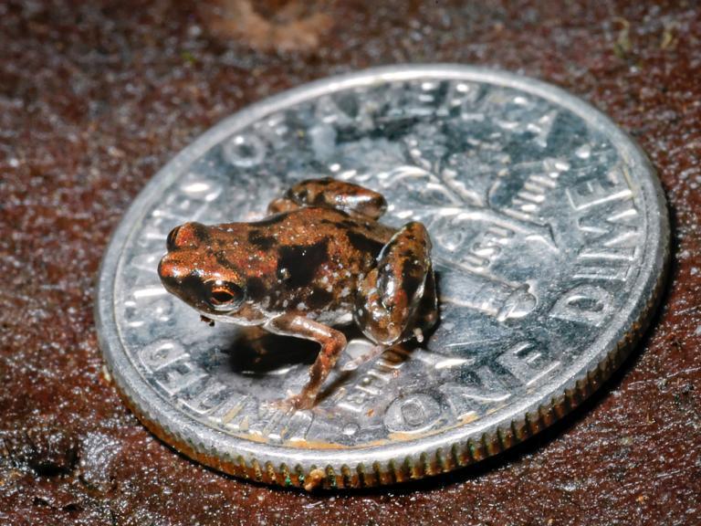 New Guinea Mini Frog
