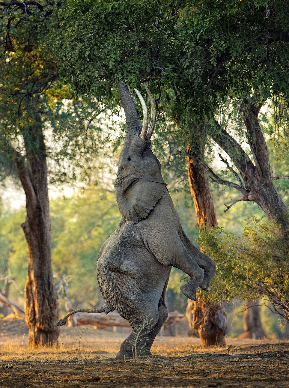 Posh Leave Me Elephant Was Oblivious To People Watching Him Reachfor Food Elephant Stands On Its Back Legs To Eat Leaves Daily Mail Elephant Food Plant Care Elephant Food Plant Arizona houzz-02 Elephant Food Plant