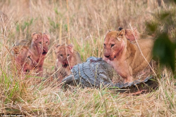 Double take: The lions look by turns angry, shocked and bemused by their unexpected dinner guest - who just wanted a helping of antelope morsel to himself