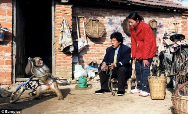Huang and Jiao look on at one of the their monkeys