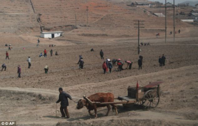 Farming communities, such as these pictured outside the capital Pyongyang last year, have been desperately hit by drought which has led to reports of people turning to cannibalism in a bid to ward off starvation