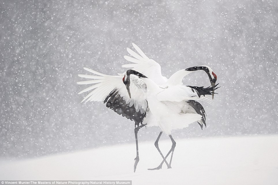 Birds at play: Dancing Cranes by Vincent Munier. The photographers are all past winners of the Wildlife Photographer of the Year competition