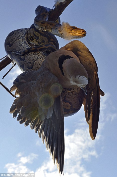 The python wraps itself around the dove in a small buffalo thorn tree