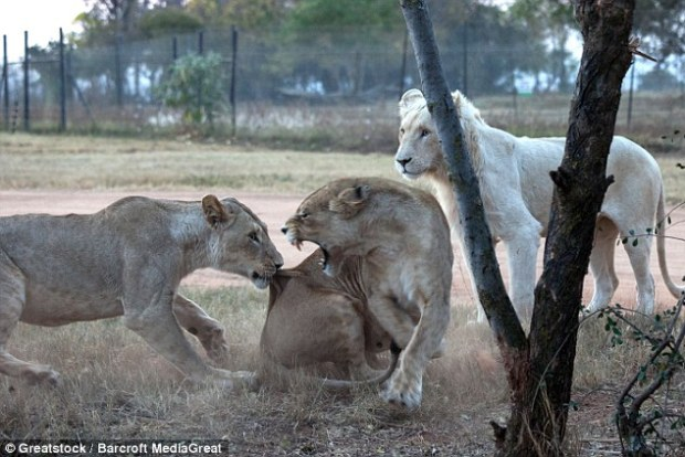 Park employees said that their repeated warnings about the big cats were ignored by tourists trying to get better pictures on safari
