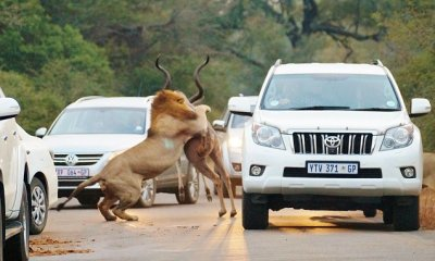 Lions catch antelope inches from stunned tourists in Kruger National Park, South Africa
