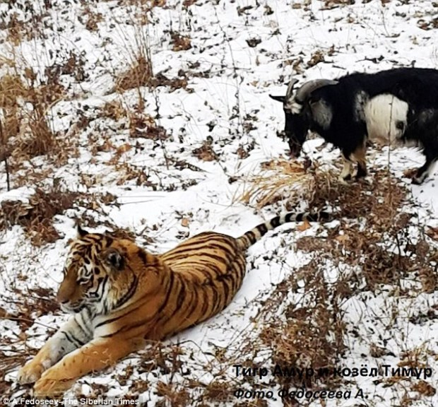 Best of friends: Amur the tiger went against his nature and befriended the goat thrown into his lair for lunch