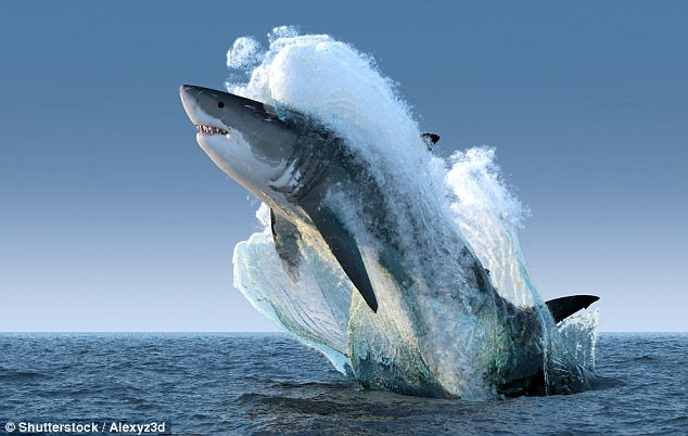 Experts reveal how you can fight off a shark attack   Daily Mail Online Feared predator  A great white shark is pictured here breaching in  spectacular fashion