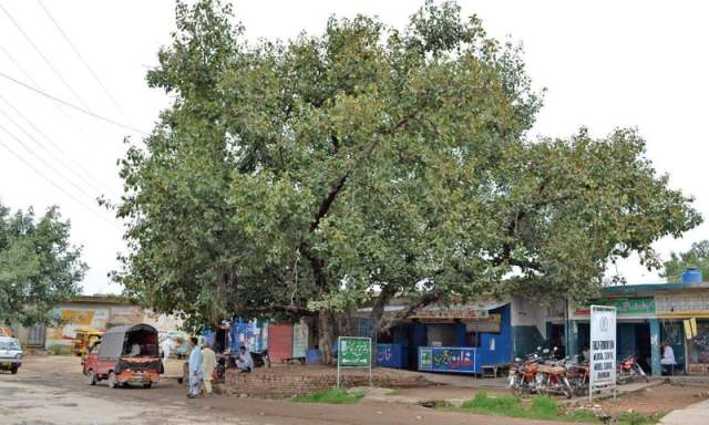 Over a 100 years old Banyan tree on the main road in Bhoun village.