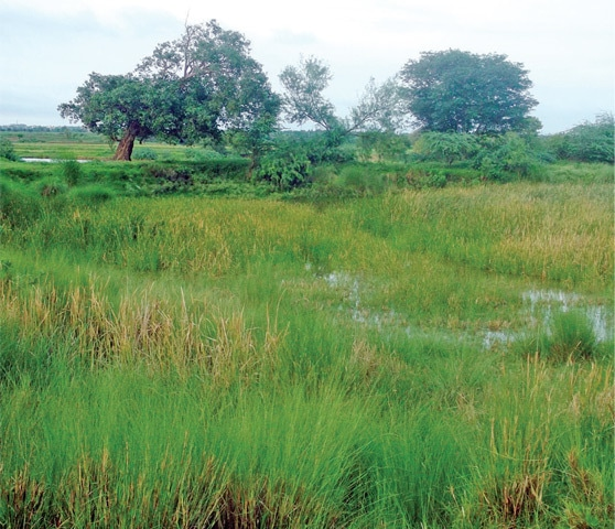 A pond in Dhakku village has been taken over by reeds.