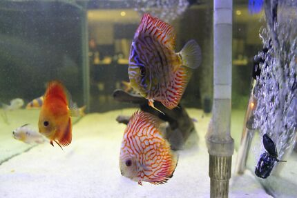 NEW FORREST SHIPMENT  ..DISCUS TROPICAL FISH   HIGH QUALITY | Fish