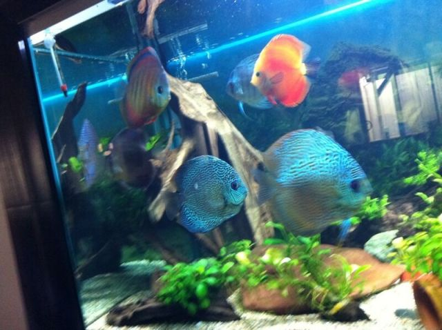 discus fish, other fishes and plants for sale Rooty Hill Blacktown