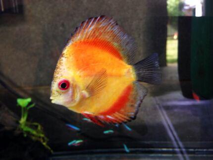 Adelaide Region, SA   Fish   Gumtree Australia Free Local Classifieds