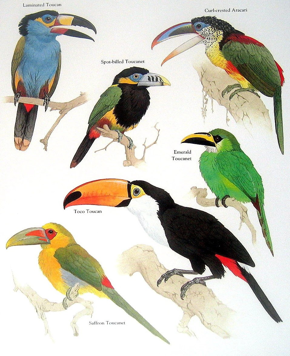 Items similar to Laminated Toucan  Spot Billed Toucanet  Curl     Items similar to Laminated Toucan  Spot Billed Toucanet  Curl Crested  Aracari  Saffron Toucanet Vintage 1984 Birds Book Plate on Etsy