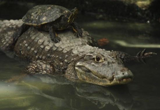 turtle alligator
