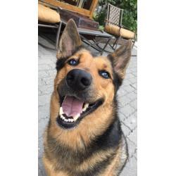 Small Crop Of Cute German Shepherd