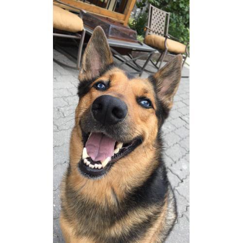 Medium Crop Of Cute German Shepherd