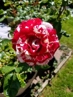 Small Of Rogue Valley Roses