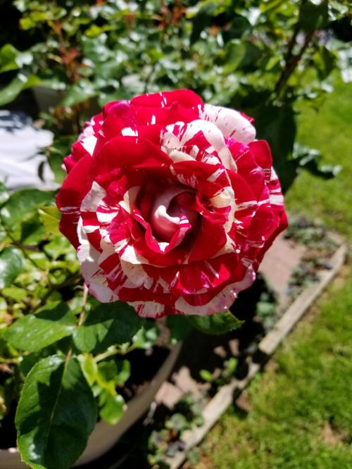 Medium Of Rogue Valley Roses