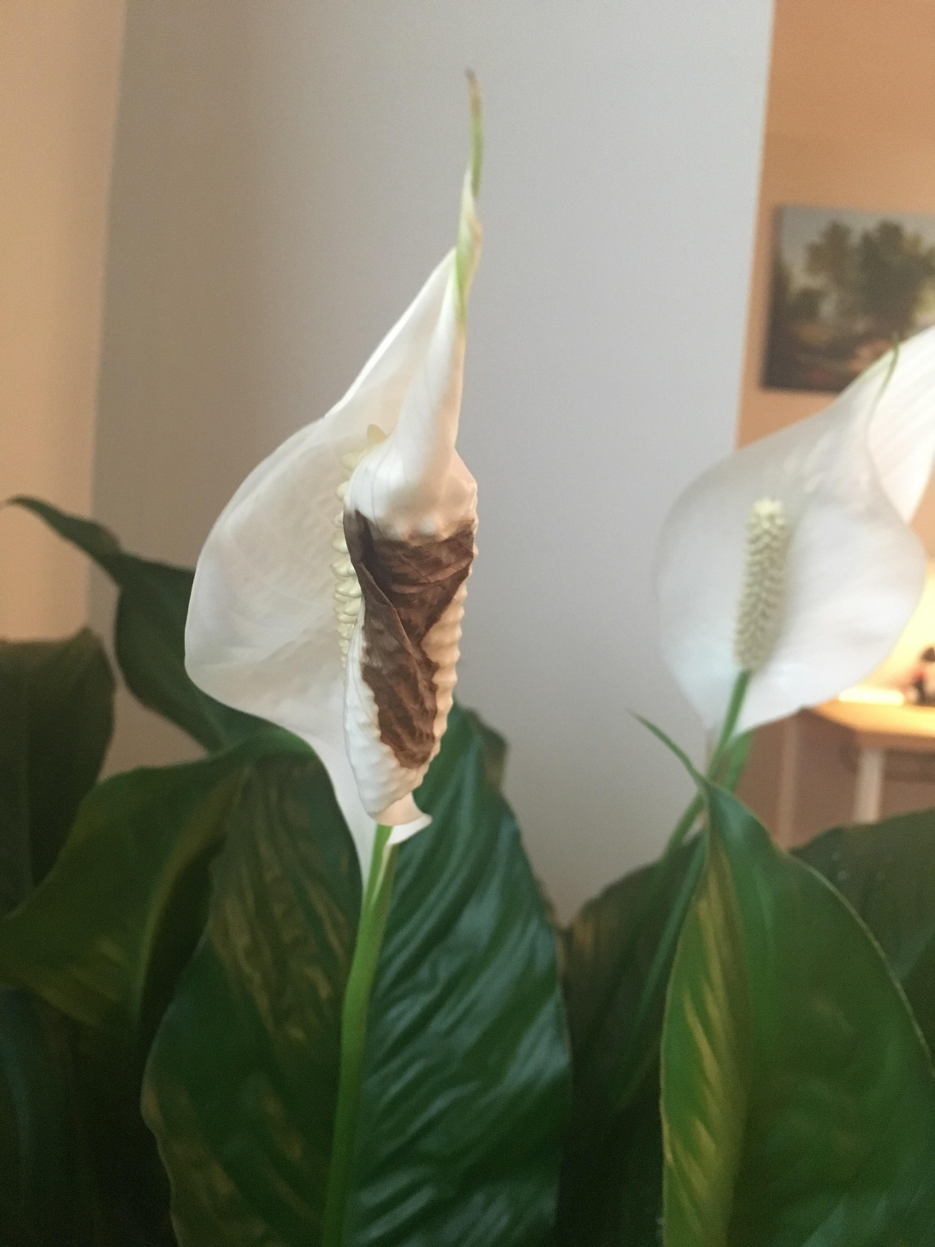 Riveting Brown Spot On Peace Lily Is It From Brown Spot On Peace Lily Is It From Garden Peace Lily Brown Dry Leaves Peace Lily Care Brown Leaves houzz-03 Peace Lily Brown Leaves