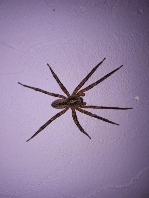 Medium Of Giant House Spider