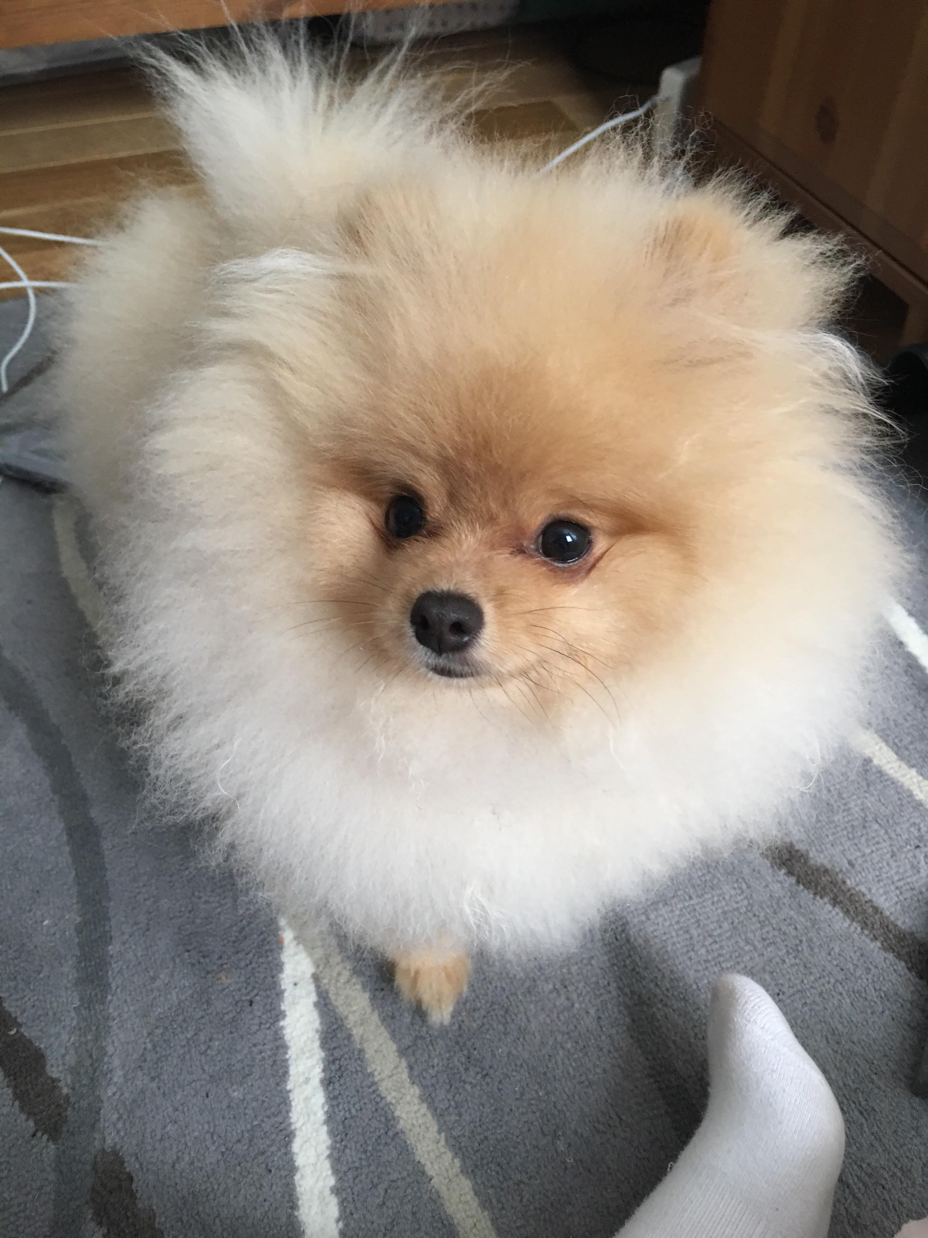 Fullsize Of How Long Do Pomeranians Live