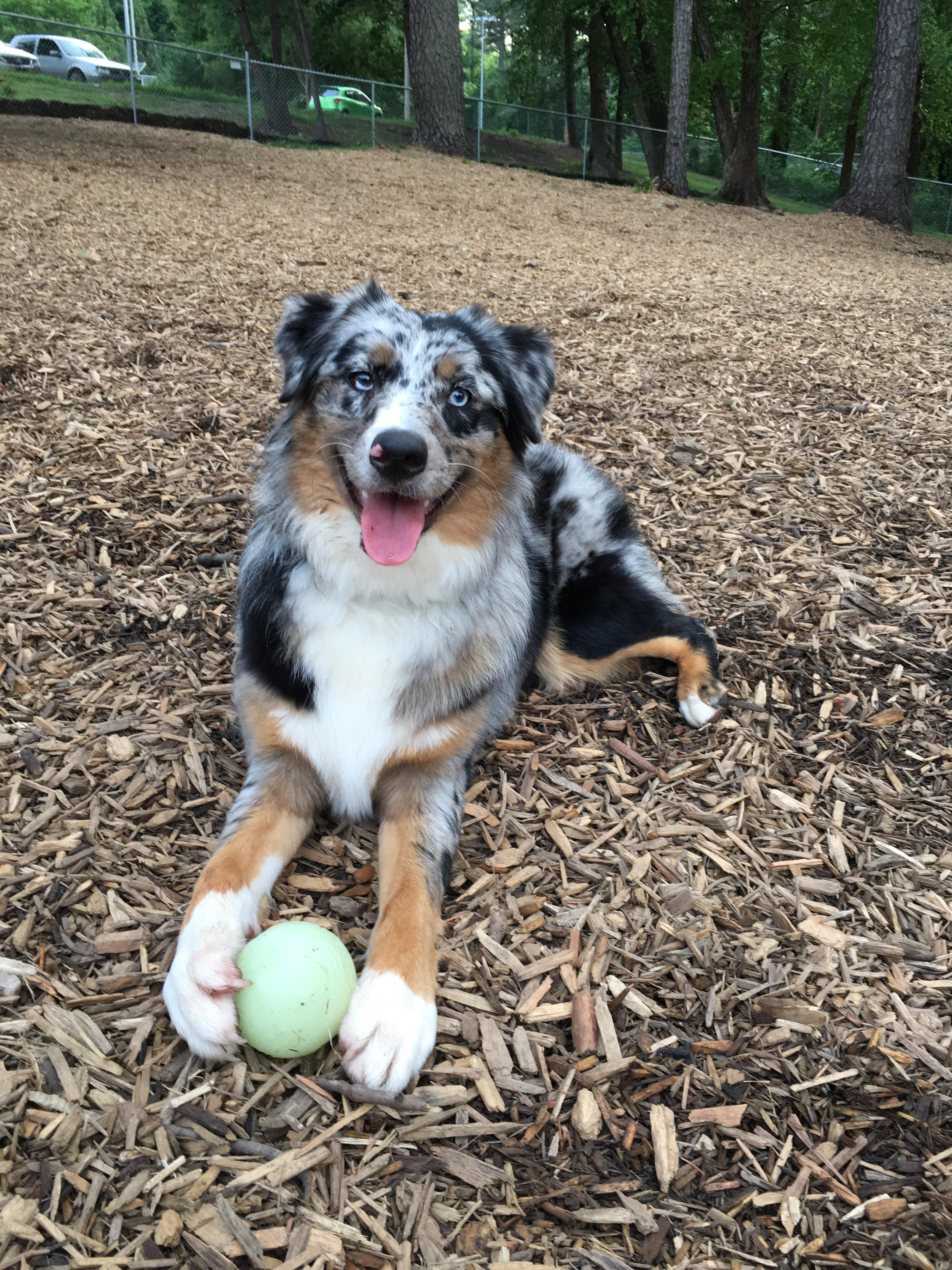 Natural Friendly Reer To Not Shave Your Wiggle Butt Summer Friendly Reer To Not Shave Your Wiggle Butt Summer Do Mini Australian Shepherds Shed A Lot Does Australian Shepherds Shed bark post Do Australian Shepherds Shed