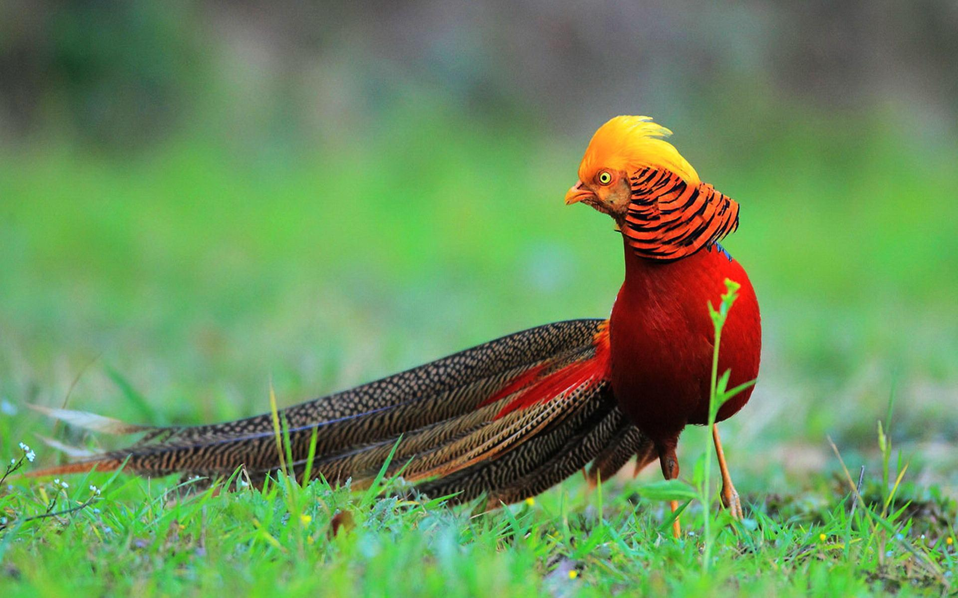 Golden Pheasant is a real life Phoenix            NatureIsFuckingLit 32 9k           Golden Pheasant is a real life Phoenix