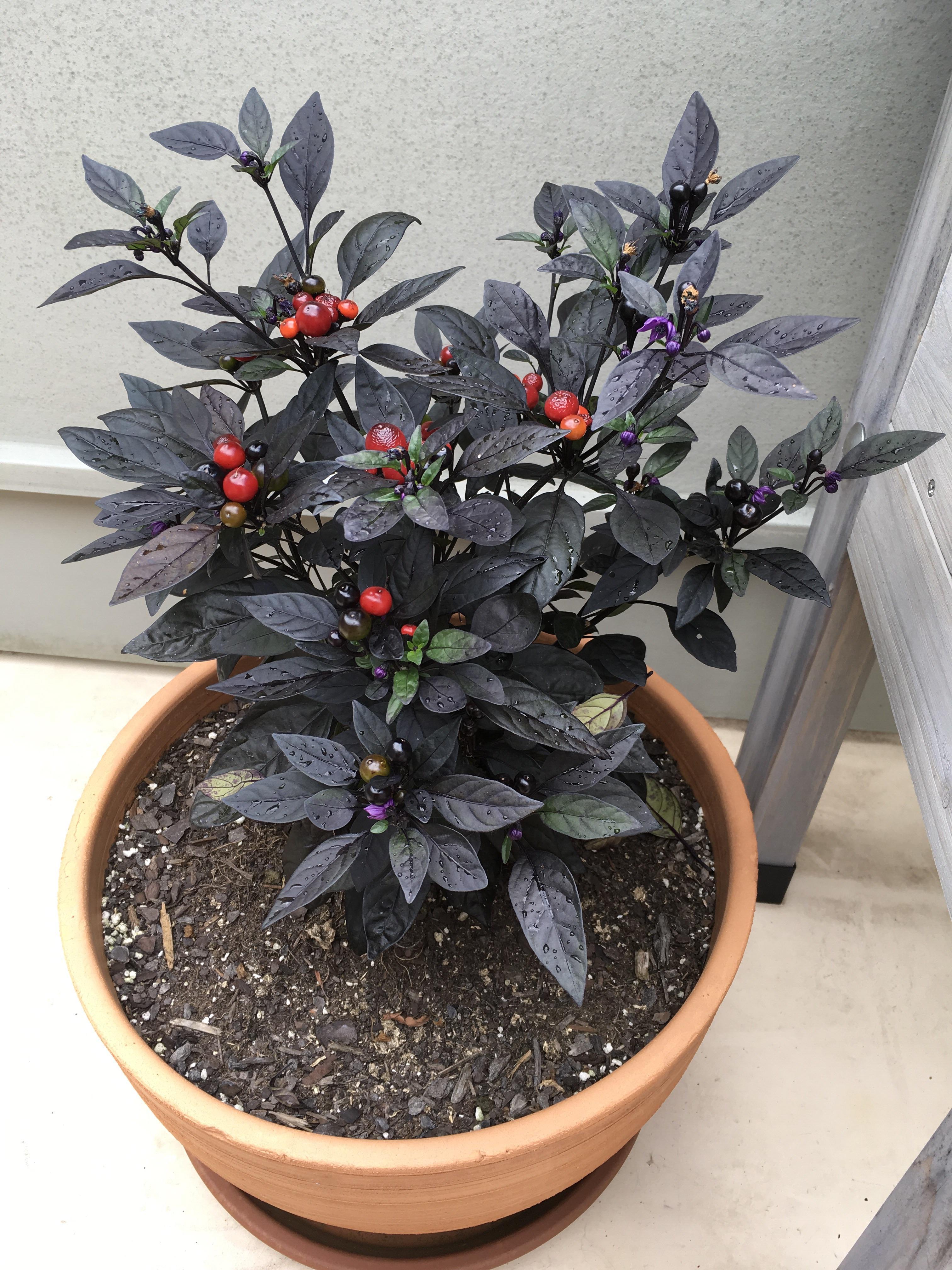 Astounding Black Pearl Very Black Pearl Very Hotpeppers Black Pearl Pepper Plants Black Pearl Pepper Uses houzz-02 Black Pearl Pepper