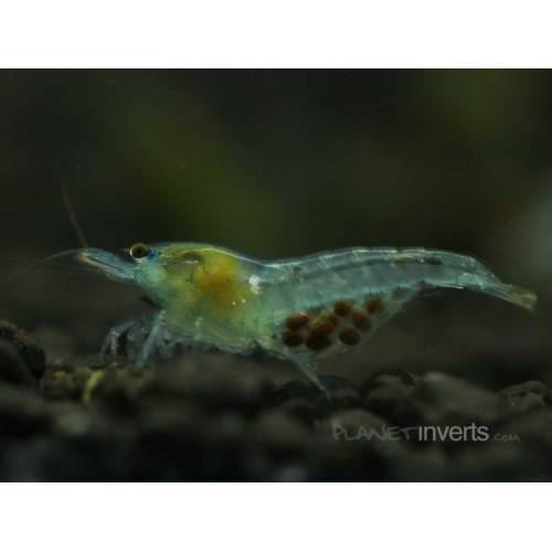 Medium Crop Of What Do Ghost Shrimp Eat
