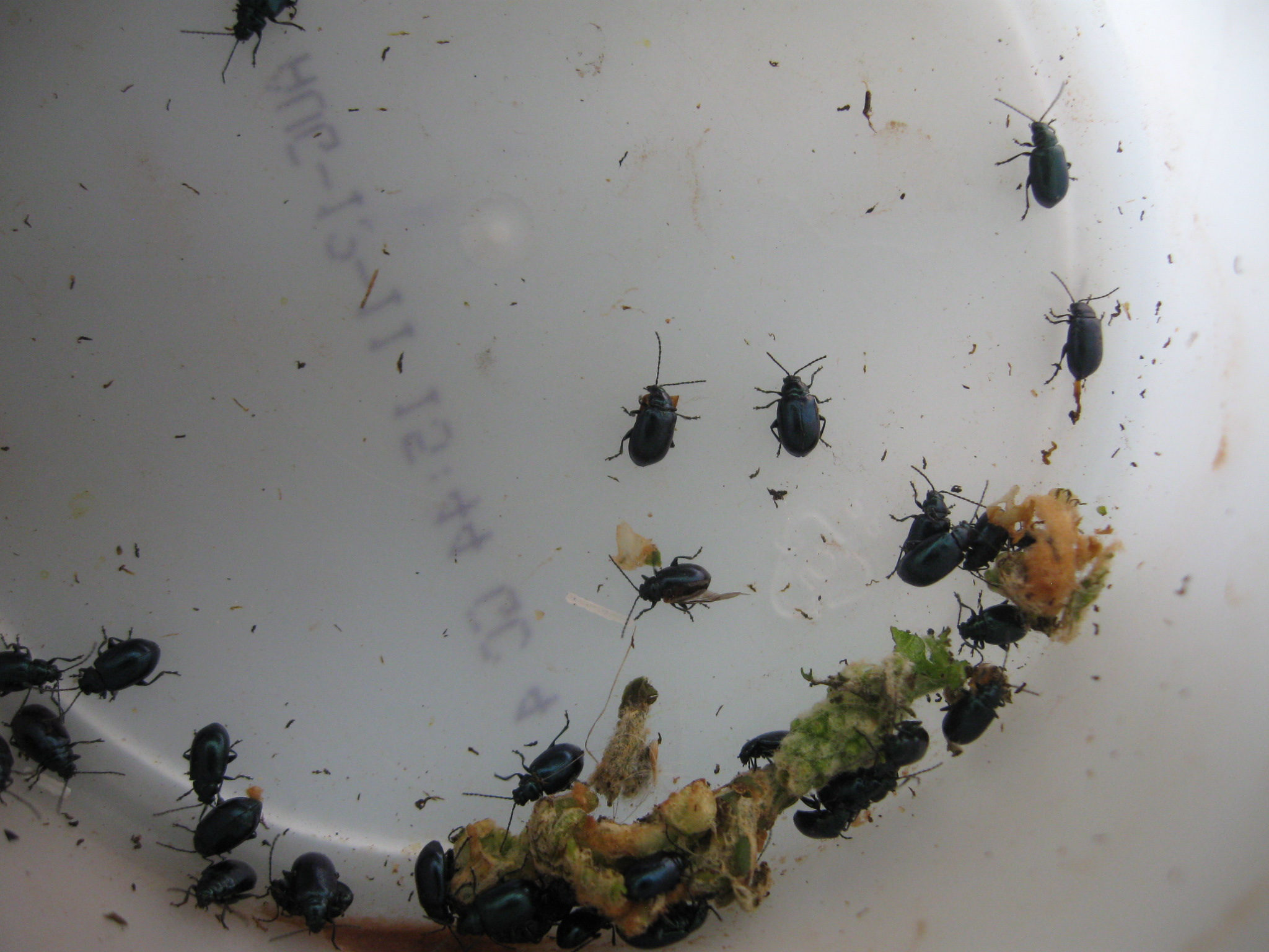 Exciting Beetles Enter Image Description Here Pest Control How Can I Deal Figure Army Beetles Eating My Grapevine Small Black Beetle Bathroom Small Black Beetle Utah houzz-03 Small Black Beetle