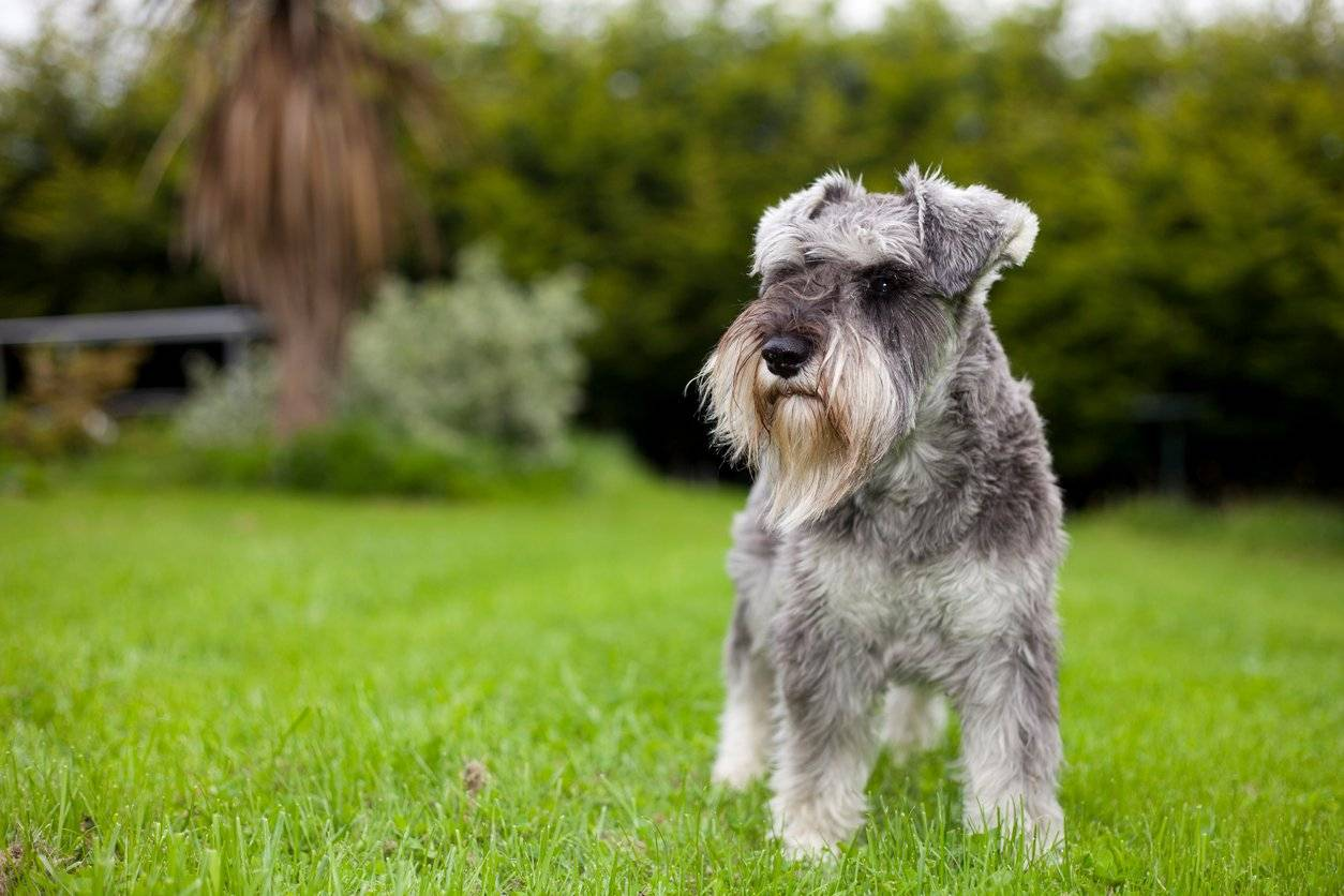 Fullsize Of Do Schnauzers Shed