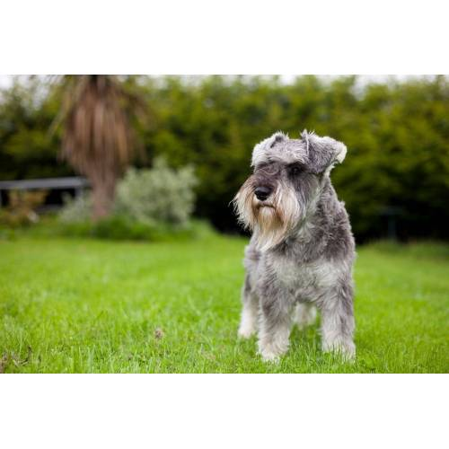 Medium Crop Of Do Schnauzers Shed