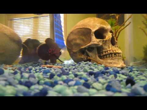 10 gallon fish tank Oscar, pike, catfish, bass   YouTube