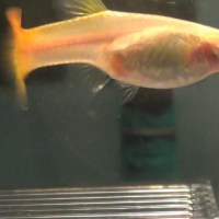guppy fish pregnancy stages - Pregnant Guppy Stages I have a female blonde guppy