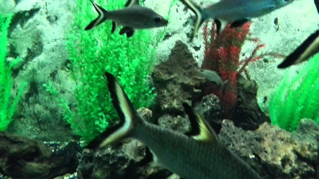 Silver shark is a tropical fish for freshwater aquariums   YouTube