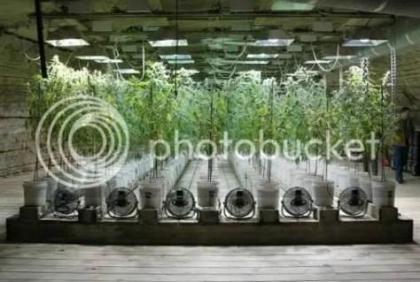 La cosecha de Marihuana : Parte 1/La cosecha % category