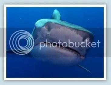 bull shark photo: Bull Shark bullshark1.jpg