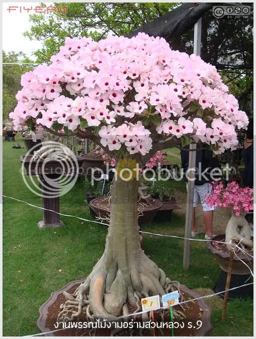 งานพรรณไม้งามอร่ามสวนหลวง, งานสวนหลวง, งานต้นไม้, ขายต้นไม้, ไม้หายาก, ไม้ใหม่, ไม้ดอก, ไม้ประดับ, ต้นไม้, ดอกไม้, aKitia.Com