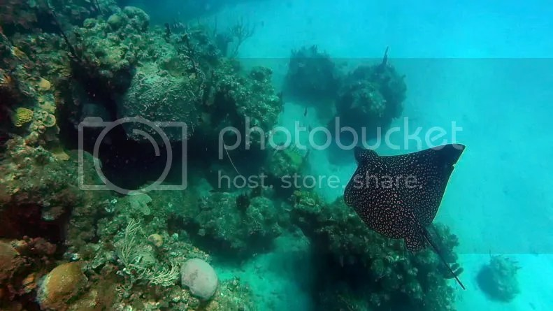 Eagle Ray underwater